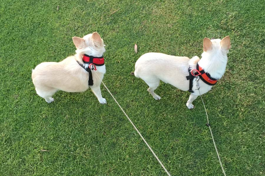 Two Small Dogs being Walked by Pet Sitter Perth