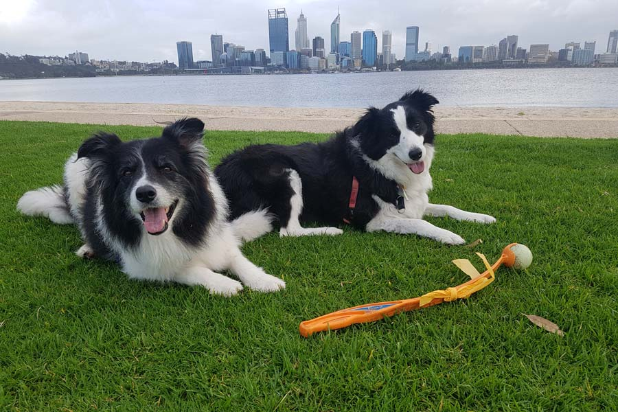 Two Dogs on South Perth Foreshore, Dog Sitting Perth