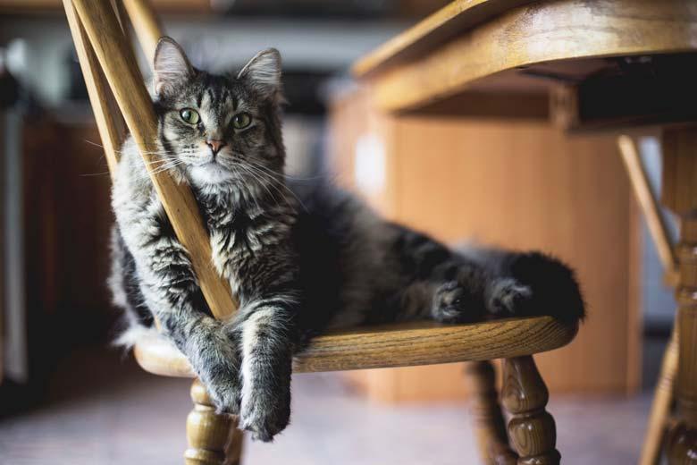 Cat Sitting, Perth Cat Sitting, Cat Sitting on Chair